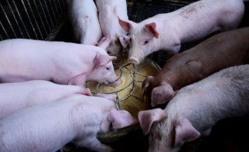 Full review of the effects of African Swine Fever on the global meat market